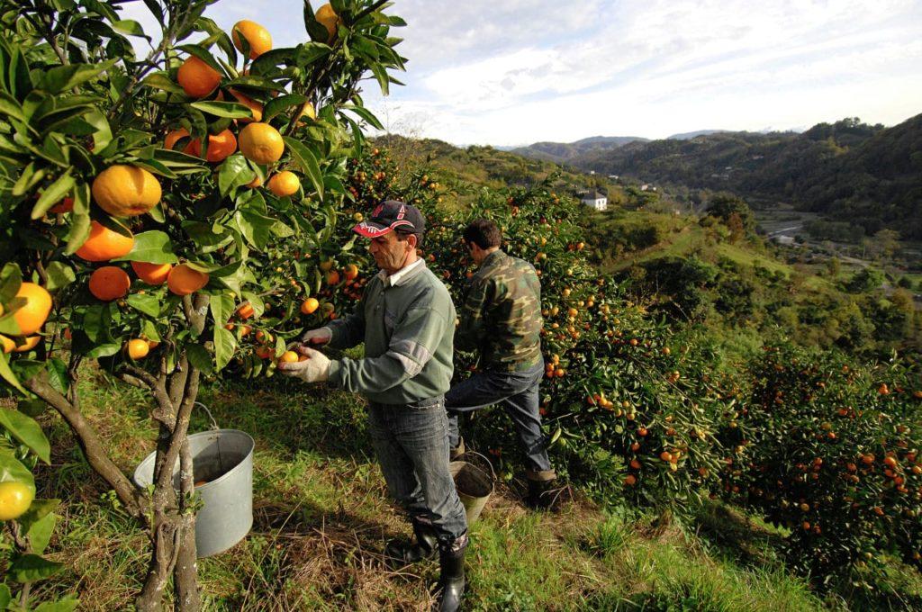 Работа по сбору фруктов